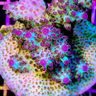 reeflections-aquatics-pearl-jelly-acropora-mother-w