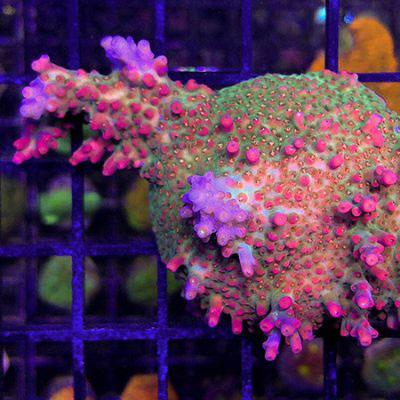 reeflections-aquatics-pink-shmiggle-w